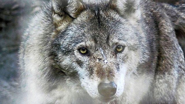 meana wolf massage
