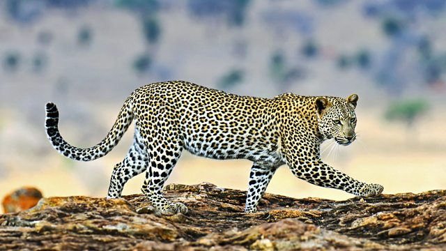 "the leopard cannot change its spots Italian translation of ""the leopard cannot or doesn't change its spots"" 