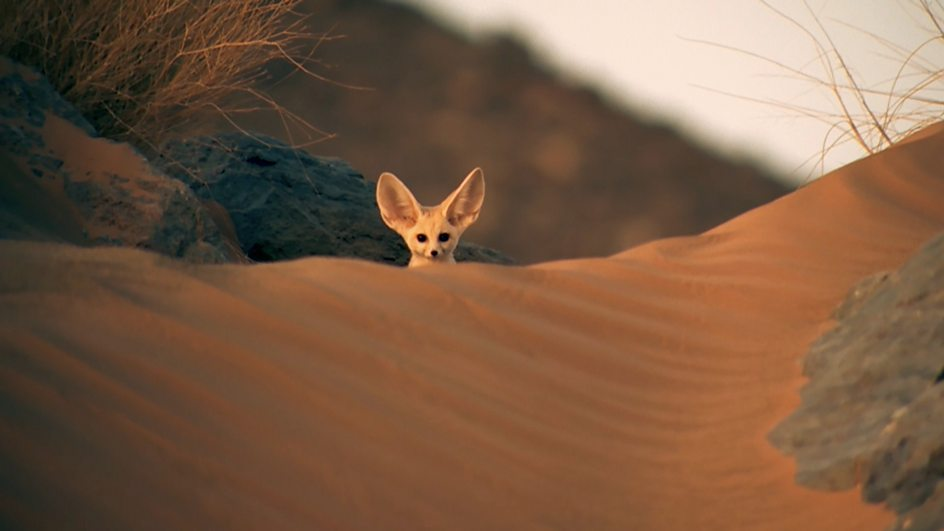 making friends with the fennec fox the great beyond