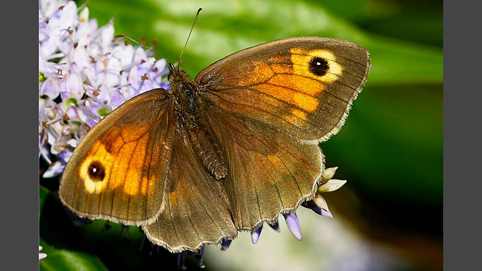 Brown grass patches pictures of butterflies