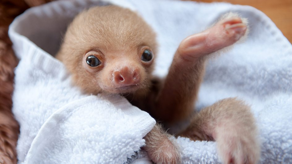 baby two toed sloth - photo #3