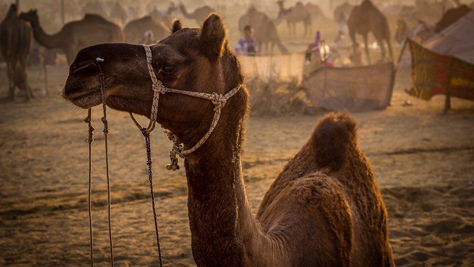 Biggest Fair in The us The Biggest Camel Fair