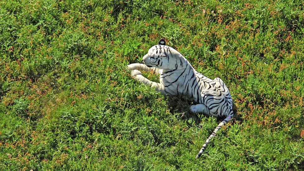 Stuffed white tiger sparks police alert (Credit: Solent News/REX)