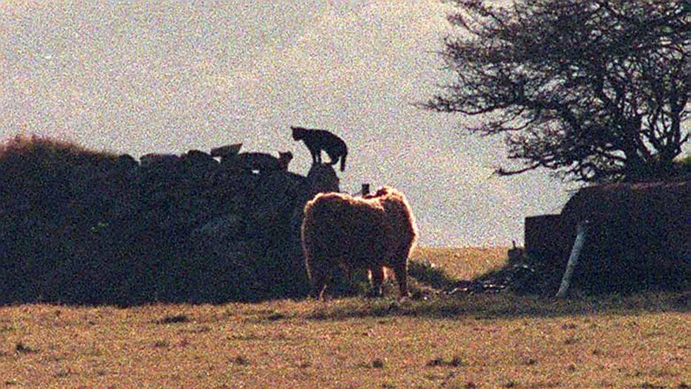 Frame grab of Beast of Bodmin by Colin Shepherd in Oct'93 (credit: Colin Shepherd / SWNS)