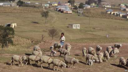 Child herds sheep in Qunu