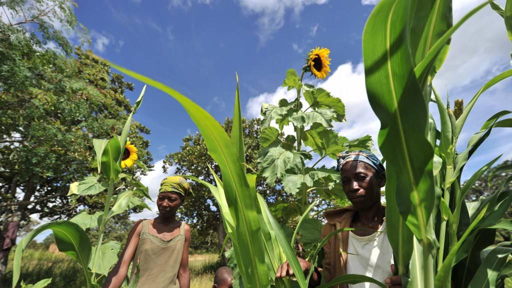 People in a maize field in Zimbabwe