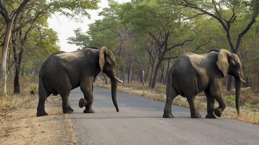 Elephants walking across a road in Zimbabwe - January 2017