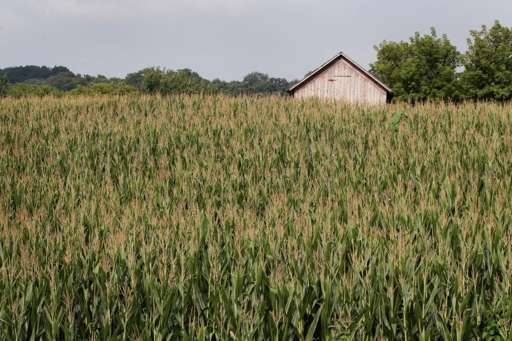 A barn in a field of corn
