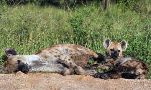 Hyenas in South Africa