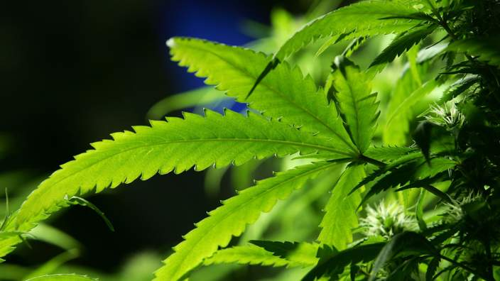 Oxford University to launch multimillion-dollar medical marijuana research programme