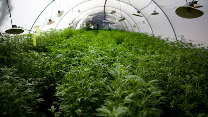 Israeli cannabis farm