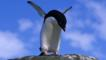 An Adelie penguin flaps its wings