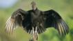 Black vulture with its wings stretched out perched in the sun