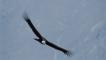 Young Andean condor in soaring flight