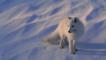 A white-furred Arctic fox in the snow