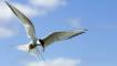 Arctic tern flying with fish in its beak