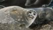 Baikal seals on lying on the shore of Lake Baikal