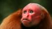 Profile of a bald uakari
