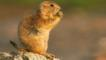 A black-tailed prairie dog sitting on rock