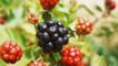 Blackberries in various states of ripeness