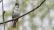 Male blackcap perched on branch singing