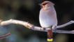 Bohemian waxwing perched on a branch