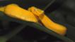 Gold eyelash viper coiled on palm leaf