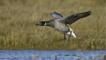 Brent goose landing on flooded salt marsh