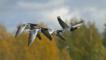 Four barnacle geese flying