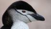 Portrait of a chinstrap penguin