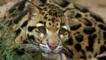 Crouching clouded leopard