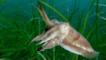 Cuttlefish amongst seaweed