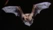Noctule bat in flight and showing its teeth