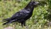 Raven walking (c) Jim MacKenzie