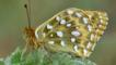 Dark green fritillary at rest on plant
