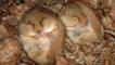 A pair of hazel dormouse sleeping in their nest during hibernation
