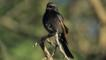 Fork tailed drongo perched on a branch