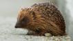Hedgehog on a path (c) Chas Moonie