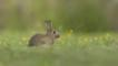 Rabbit in grass with yellow flowers (c) Peter Warne