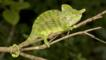 Male Labord's chameleon on a branch in a Madagascan forest