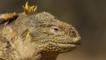Galápagos land iguana close-up