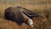 Giant anteater running on grassland