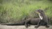 Giant otter resting on river bank