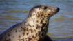 Close-up of a grey seal lying on sand