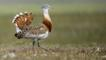 Male great bustard in field