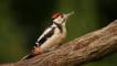 Juvenile great spotted woodpecker on a branch (c) Izzy Standbridge