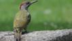 Green woodpecker on a stone (c) Paul Green