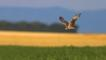 Montagu&#039;s harrier in flight over field