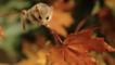 A dormouse in Autumn