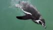 Humboldt penguin diving underwater